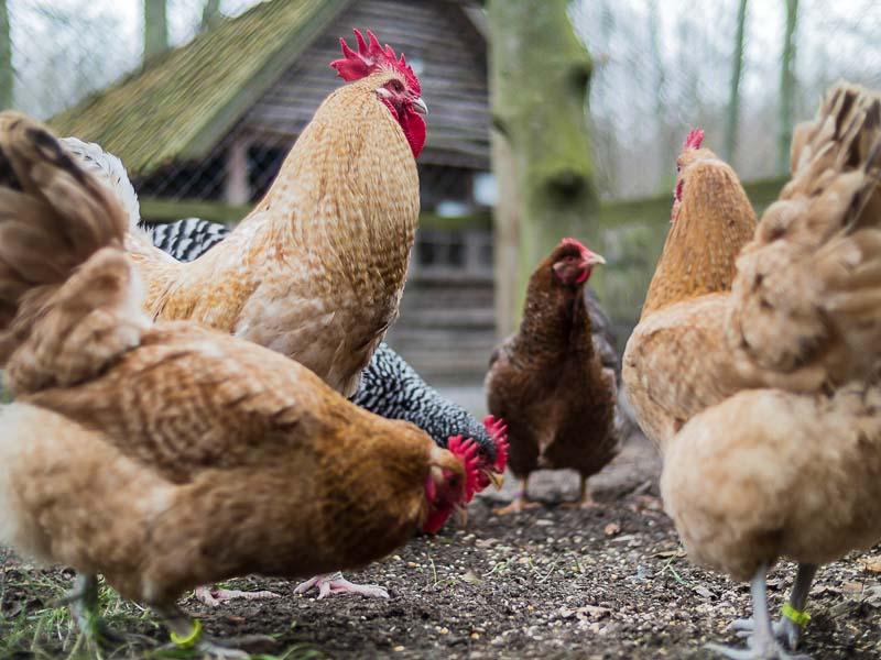 Es wohnen wieder Hühner des GZV Syke im Kreismuseum