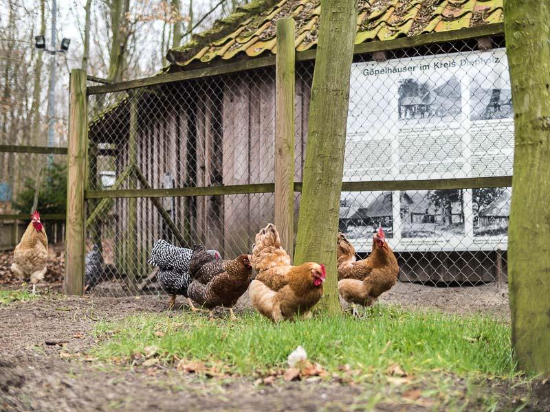 Hühner des Geflügelzuchtvereins im Kreismuseum in Syke