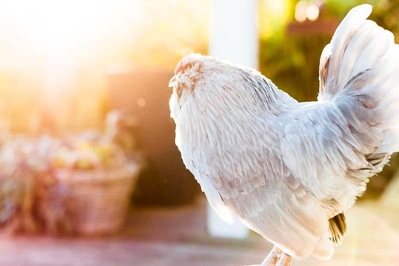Das hilft Hühnern durch die Sommerhitze