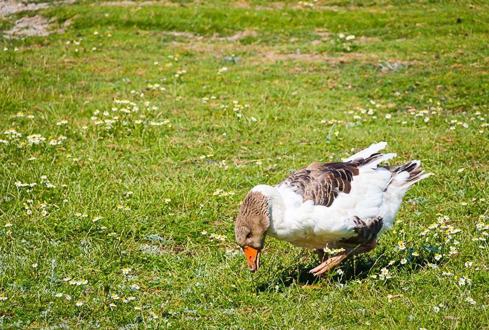 Bundesrat stimmt Änderung der Geflügelpest-Verordnung zu