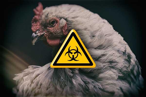Neue Vogelgrippewelle rollt an – jetzt sollte man vorbereitet sein